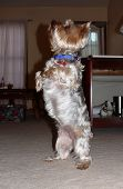 the silky terrier is a very intelligent and physically creative dog. poster