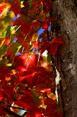 red maples leaves in the sun light poster