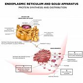 Endoplasmic reticulum and Golgi Apparatus. Protein synthesis and distribution detailed drawing poster