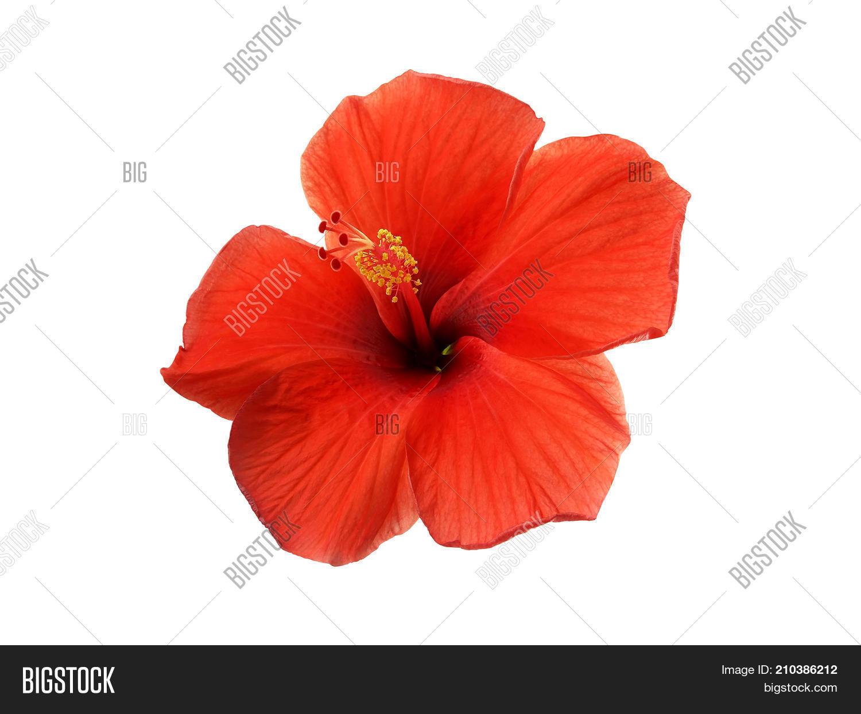 Close- Red Hibiscus Image & Photo (Free Trial) | Bigstock