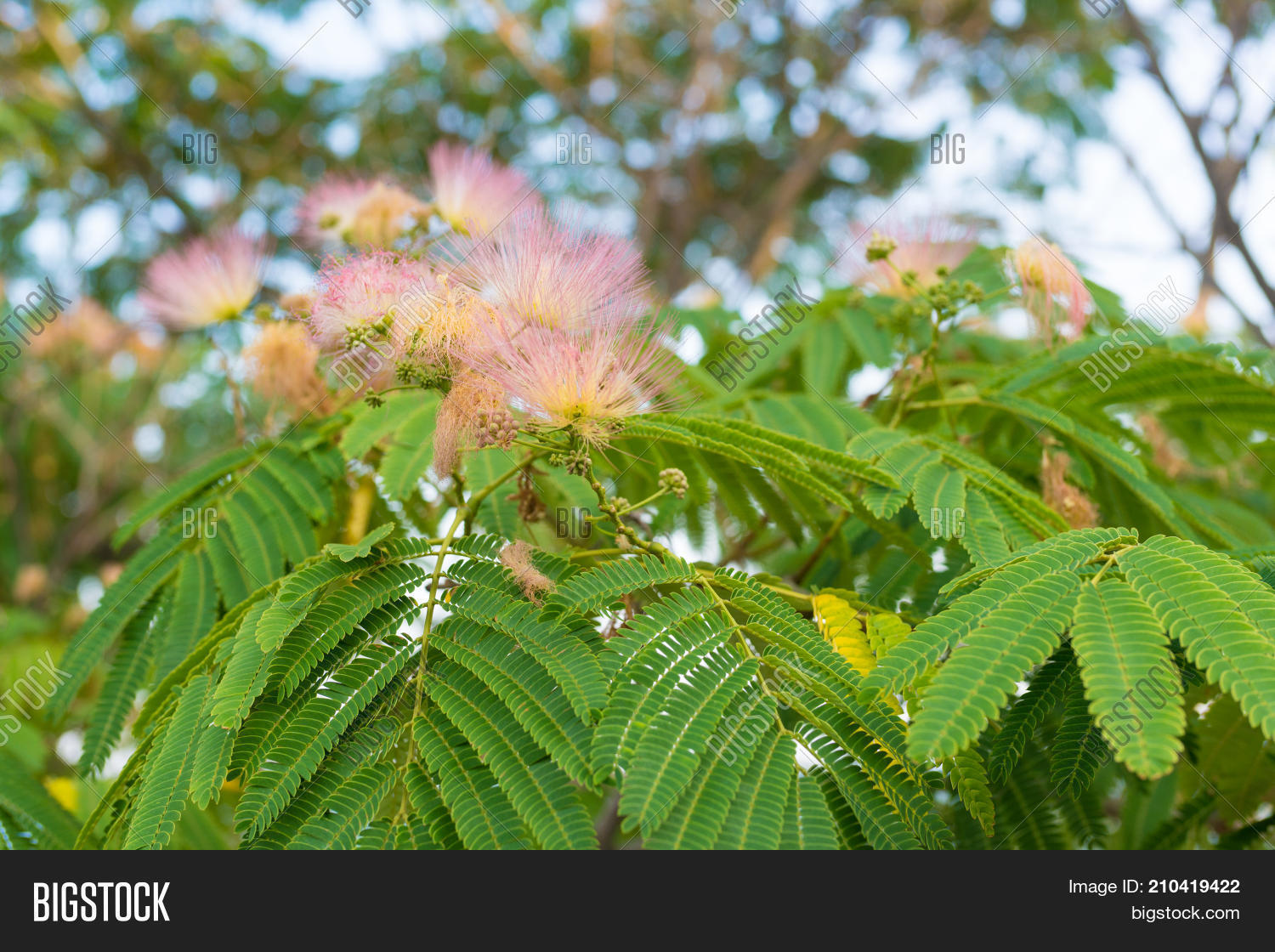 Light Fluffy Pink Image Photo Free Trial Bigstock
