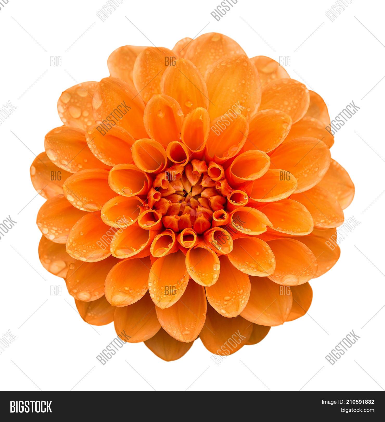 Orange Yellow Dahlia Image Photo Free Trial Bigstock