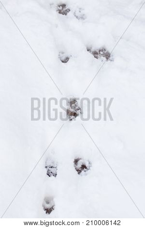paw prints on fresh clean snow . In the park in nature