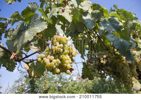 Detail of Handmade grape harvest in Georgian Vineyard. Ripe grape growing at wine fields. Nature background with Vineyard. ripe grapes in the vineyard. Wine concept