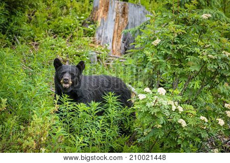 Wild Black Bear looks into camera in forests of Banff and Jasper National Park, Canada.