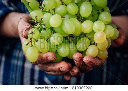 Farmer hands holding hip of ripe green grapes.