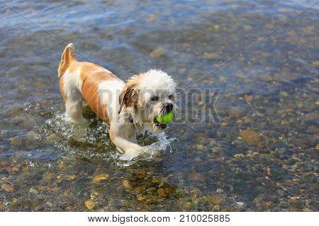 Cute Little Shih Tzu Dog With A Ball On The Beach.