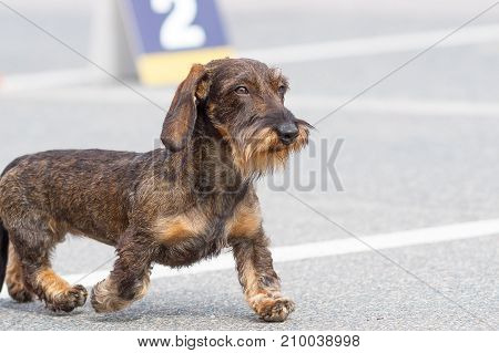 Terrier jogging along the road. Space under the text. 2018 year of the dog in the eastern calendar Concept: parodist dogs, dog friend of man, true friends, rescuers.