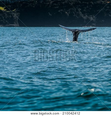 Whale Tail Sticks Out Of Water