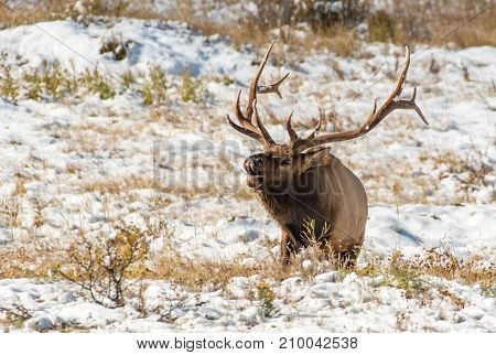 Large Bull Elk during the Fall Rut