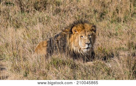 A Male African Lion Rests in the Hot Sun