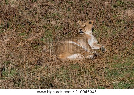An African Lioness Lounges on a Hot and Sunny Day