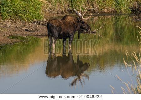 A Large Bull Moose in a Stagnant River