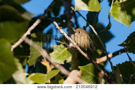A Cute Ruby-crowned Kinglet Searching for Food in a Tree