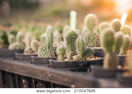 Close up small cactus plant in black plastic flowerpot with sunlight background at greenhouse in vintage style. (Soft focus)