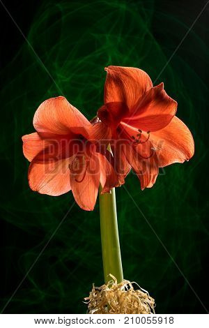 Red amaryllis bloom with stripes. Natural blooming flower blossom. Hippeastrum isolated on the green background. Celebration card