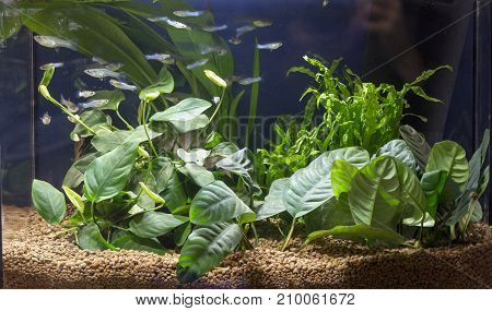 Beautiful planted aquarium with Guppies fishes view