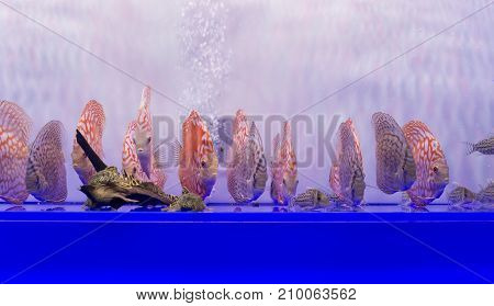 Many discus fishes in frashwater aquarium view