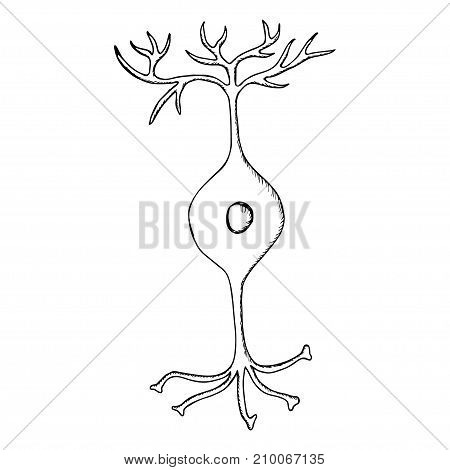 Bipolar neuron, Nerve Cell Neuron, isolated on white background. Hand draw illustration in sketch style.