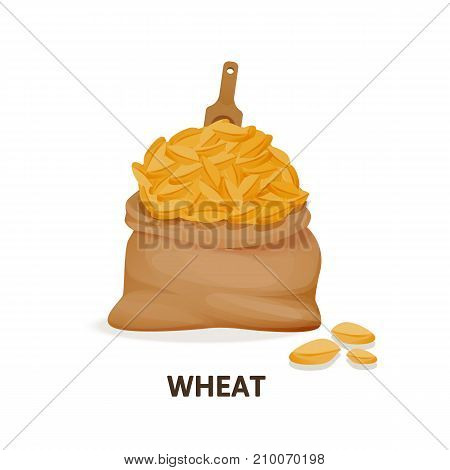 Concept of grain crops in bags. Bag of wheat grain culture and wooden spoon, cereal, herbaceous plant, an agricultural crop, useful natural organic food, dishes. Bread wheat. Vector illustration.