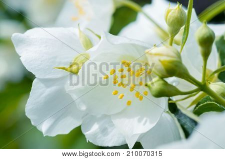Blossoming jasmine with buds close-up in sunlight