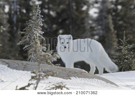 Arctic fox (Vulpes Lagopus) in white winter coat with small tree in the foreground, Churchill Manitoba