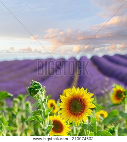 Sunflowers and rows of Lavender flowers, summer field at sunrise, France