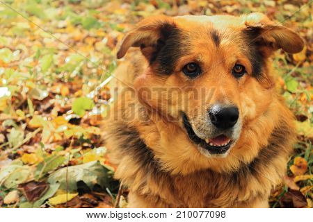 Sheepdog closeup lies on autumn leaves in the forest