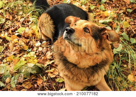 Dog lies on autumn leaves in the forest. Looks up