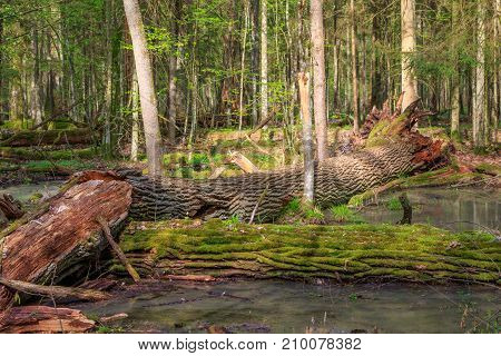 Spring landscape of old forest and broken moss wrapped trees lying in water,Bialowieza Forest,Poland,Europe