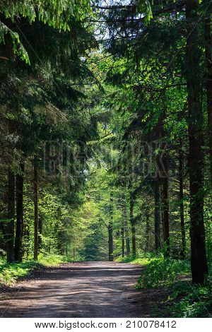 Deciduous stand at sunnny springtime morning and ground road leading inside, Bialowieza Forest, Poland, Europe