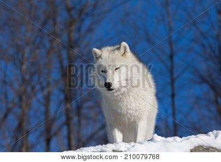 Arctic wolf (Canis lupus arctos) in the winter snow