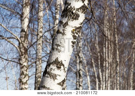 birch trunk in nature . In the park in nature
