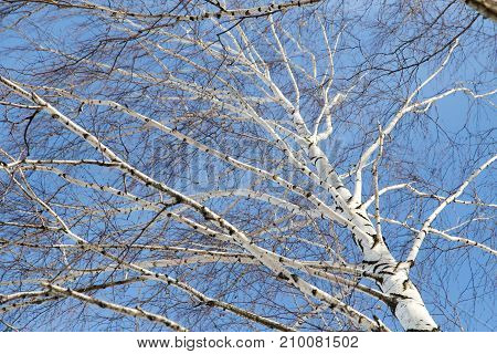 birch against the blue sky . In the park in nature