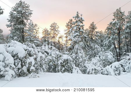 sunset behind the snow covered pine trees