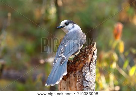 Gray Jay (Perisoreus canadensis) perched on tree stump in Algonquin Provincial Park
