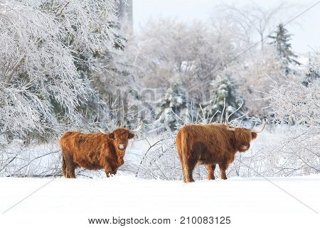Highland cattle standing in a snowy field in winter