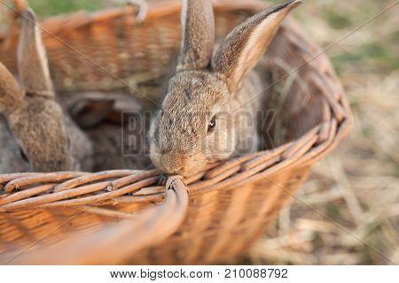 Rabbits In Basket On Farm