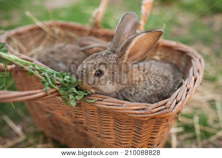 Rabbit Eat Green In Basket On Farm