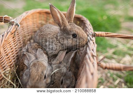 Three grey bunnys in basket countryside outdoor