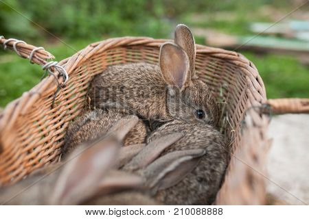 Brown Rabbit In Basket Surrounded By Small Rabbits