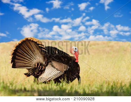 Tom turkey (Meleagris gallopavo), strutting looking to mate in the spring