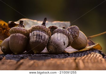 Acorns of Autumn Resting on Aged and Weathered Wood