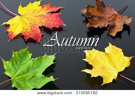 Autumn theme: maple leaves of red-yellow color in the background with yellow and green leaves. Maple leaves as a Canadian symbol.