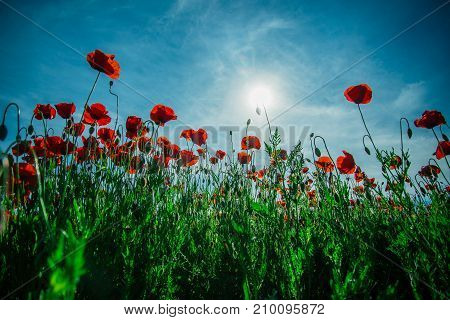 Red poppy field remembrance day poppy seed against the sky. Sun and flower like light bulb. Background and card with nature and flowers. Blue sky and red flowers