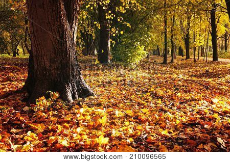 Autumn forest landscape. Fallen autumn leaves covering the ground and forest autumn trees under soft sunlight. Forest autumn nature in sunny weather. Forest autumn landscape scene with autumn forest trees and fallen autumn leaves