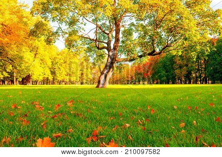 Fall tree in the park. Fall landscape view of sunny fall park lit by sunlight. Deciduous fall tree in the fall park in sunny weather. Colorful fall landscape
