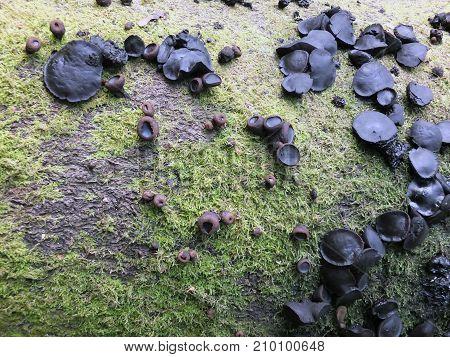 black bulgar fungus growing on a moss covered rotting beech tree