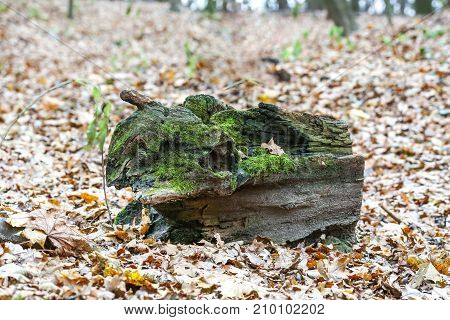 Curved snag covered by green moss over fallen yellow leaves in an autumn forest ot city park.