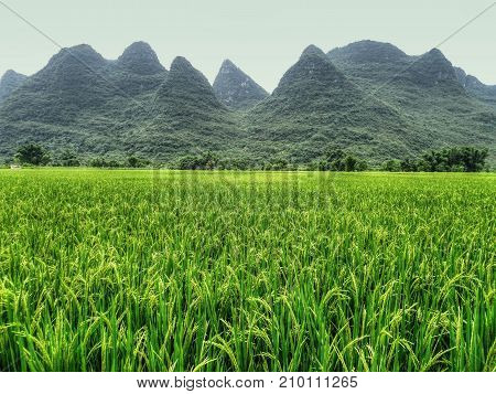 The area around small town Yangshuo in China is renowned for its karst landscape, there are hundred of limestone hills dotting the countryside. Paddy field with the full-grown rice in the foreground.